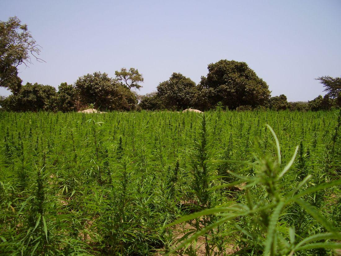 Jinack Island - the main crop